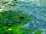 Bubble of pond and leaf like water lily