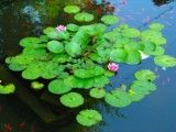 Flower and leaf like lotus on pond where goldfish swims