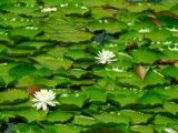 Leaf and flower like lotus with which surface of pond is covered