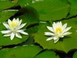 Flower like white lotus